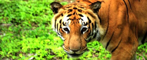 Tiger%202xx