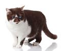 Blue eyed Cat. cat isolated on white background