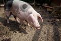Domestic pig. Big pig. pig on a farm