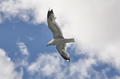 White seagull over a blue sky. Nature background. Horizontal