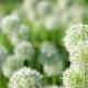 Beautiful White Allium Circular Globe Shaped Flowers Blow in the Wind