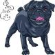 Black Pug Breed