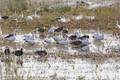 Snow Geese in the Bayou