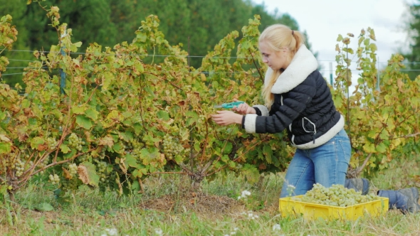 VideoHive Young Woman Gathers the Grape Harvest the Grapes Carefully Cuts with Scissors 19137470