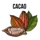Hand Drawn Whole and Half Cacao Fruits with Leaves