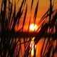The Reeds on Sunset Landscape With Sun and Water Background