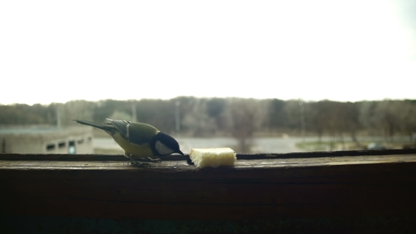 Bird Titmouse Eats Bread on a Wooden Window Sill