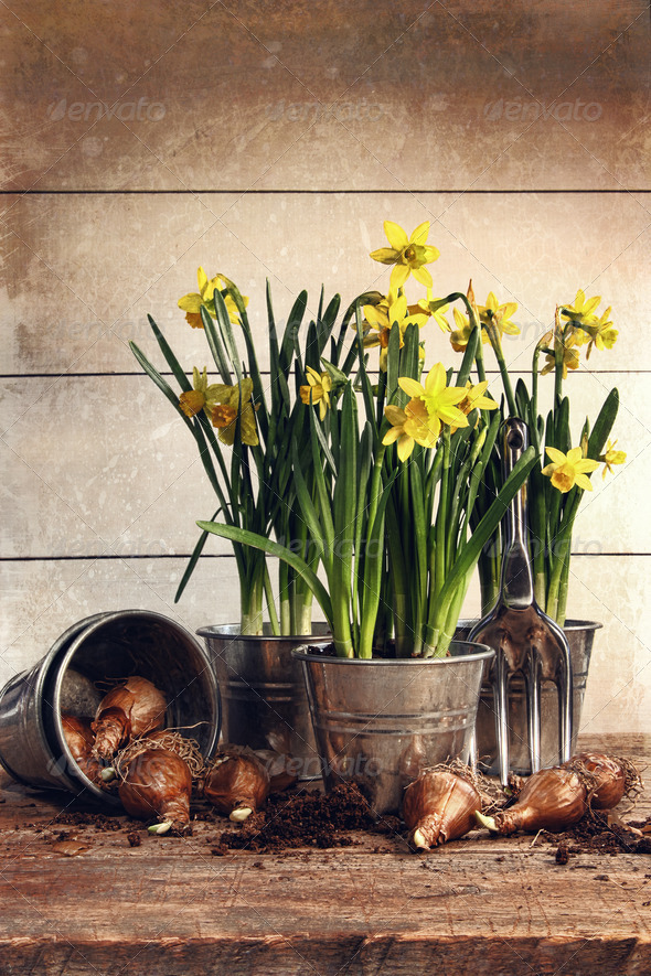 Potted daffodils wirh bulbs for planting - Stock Photo - Images