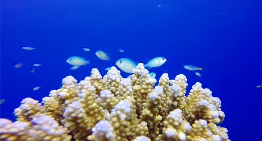 Underwater Coral Blue Green Chromis