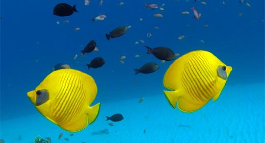 Background Underwater Butterflyfish