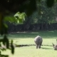 Rhinos on the Green Field