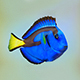 Fish Paracanthurus hepatus low-poly