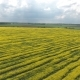 Farmland with Blooming Canola