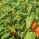 Physalis Alkekengi Plant in Garden. Plant Orange Lantern