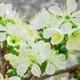 White Cherry Tree Flowers Blossoms.