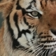 Pattaya, Thailand on November 24 Muzzle Tiger
