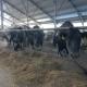 Many Cows, Flock in Farm