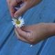 Woman Hands Tear Off Daisy Flower Petals on Blue Board Background