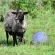 Black Sheep Often Breathe From Heat in Summer