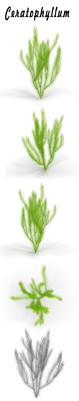 Ceratophyllum - 3DOcean Item for Sale