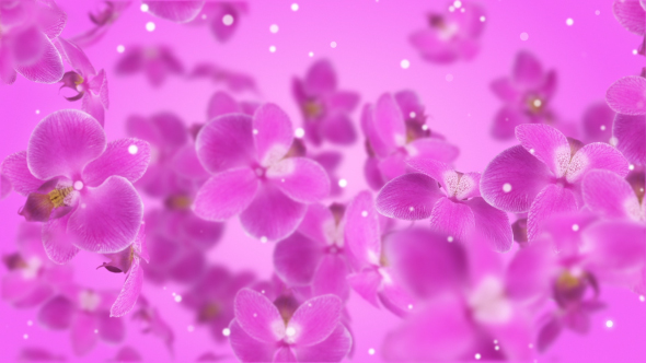 VideoHive Flowers Orchid 19311849
