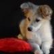 Puppy on a Heart-Pillow
