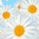 Flowers Chamomile