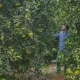 Attractive Man Walking Among the Green Citrus Trees on the Plantation