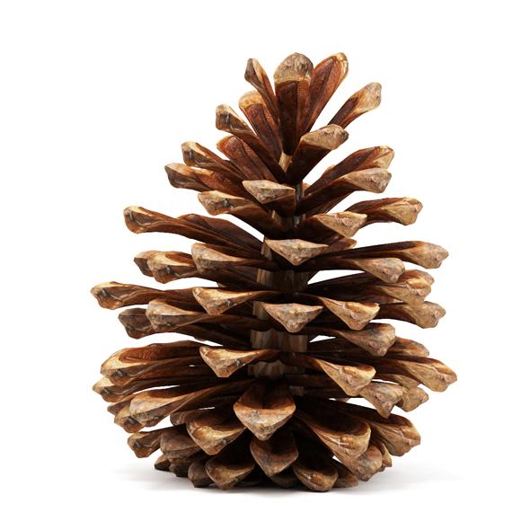Pine cone - 3DOcean Item for Sale