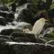 The Cattle Egret (Bubulcus Ibis) a Cosmopolitan Species of Heron. Malaysia.