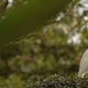 The Cattle Egret (Bubulcus Ibis) Cleaning Its Feathers