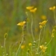 Yellow Buttercups in Meadow