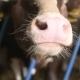Modern Farm Barn with Milking Cows Eating Hay