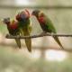 The Rainbow Lorikeet Trichoglossus Moluccanus , Colorful Species of Parrot