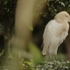 The Cattle Egret Bubulcus Ibis Cleaning Its Feathers. Cosmopolitan Species of Heron. Malaysia.