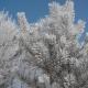 Frozen Tree Needles