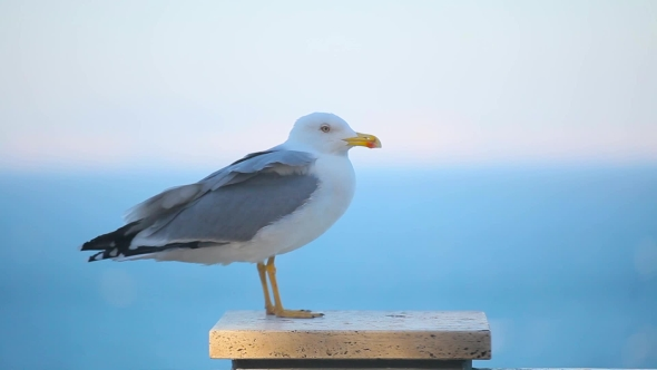 a Beautiful Seagull               (Stock Footage)
