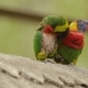 The Rainbow Lorikeet (Trichoglossus Moluccanus), Colorful Species of Parrot. Malaysia. One of Them