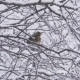 Bird a Thrush Turdus Pilaris in the Winter on a Snow-covered Tree