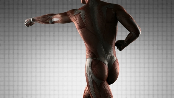 human muscle anatomy by icetray | videohive, Muscles