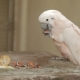 Salmon-crested Cockatoo (Cacatua Moluccensis) Eats Papaya. Cute Bird Use Its Paw To Hold Tasty Piece
