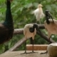 The African Sacred Ibis (Threskiornis Aethiopicus). Pair of Them Drink Fight with Peacock