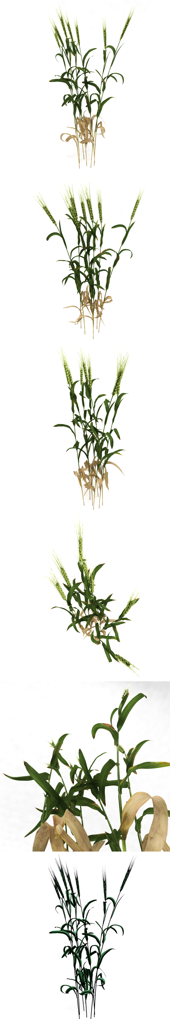 Wheat plant - 3DOcean Item for Sale