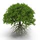 Round oak tree