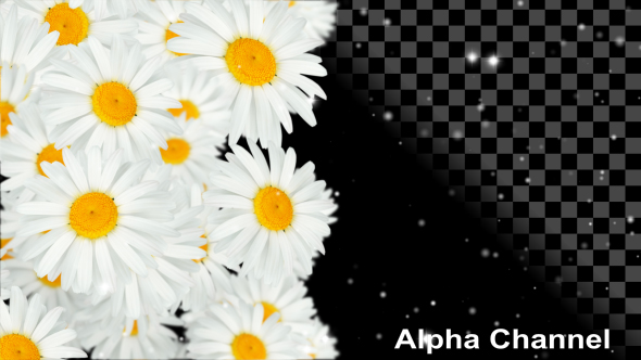 VideoHive Flowers White Chamomile 19480680