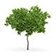 Wild Service Tree (Sorbus torminalis) 2.8m