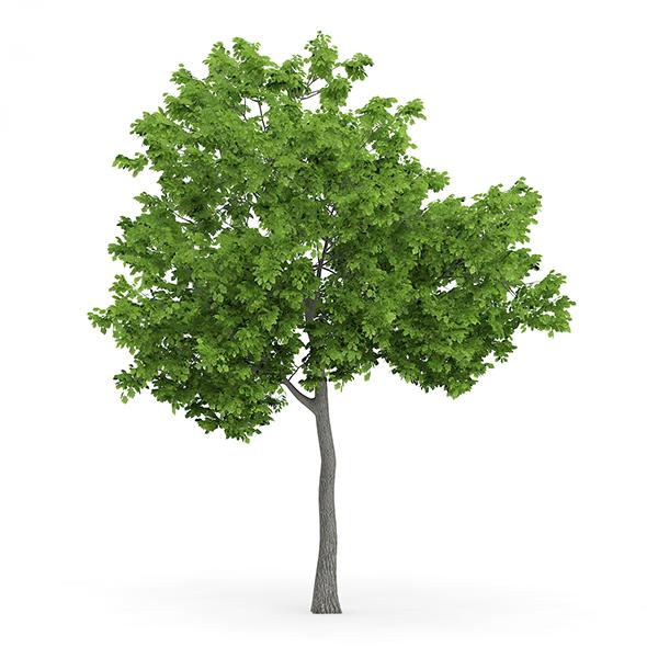 Wild Service Tree (Sorbus torminalis) 4.7m - 3DOcean Item for Sale