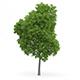 Wild Service Tree (Sorbus torminalis) 10m