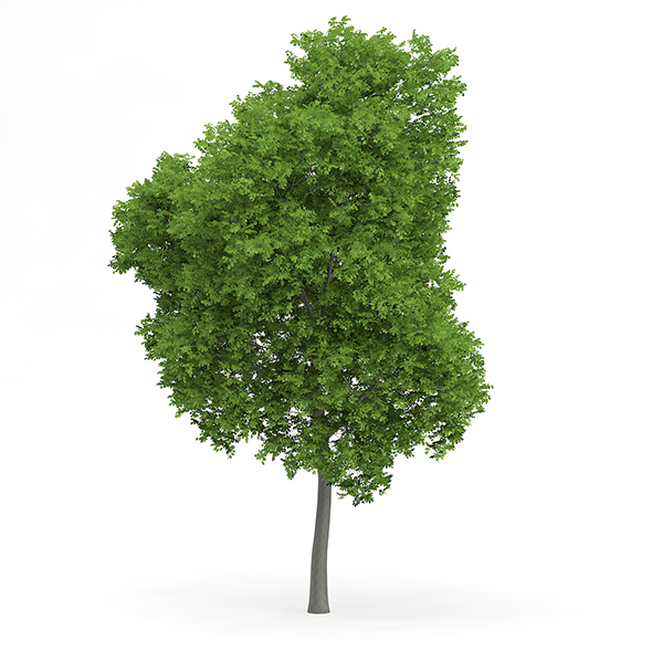 3DOcean Wild Service Tree Sorbus torminalis 10m 19493866
