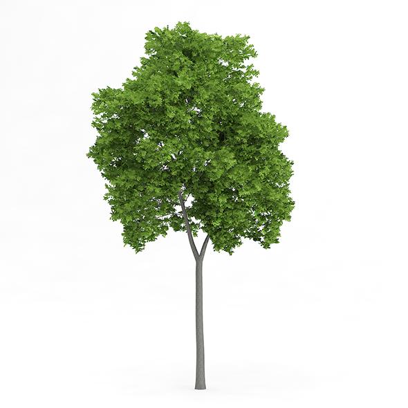 Wild Service Tree (Sorbus torminalis) 12.3m - 3DOcean Item for Sale